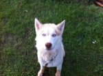 REUNITED! 1 yr old Siberian Husky lost from the Hatton, Landersville, Mt. Hope Alabama area. Last seen on June 20, 2011 wearing a collar with the Rutherford on it.