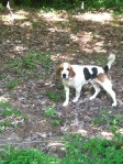 FOUND HUNTSVILLE, AL area: Beagle found Saturday May 28, wandering Highway 431 South between Monte Sano and Dug Hill Rds. in Huntsville AL. Male, approximately 5 years old, no collar. Contact Jennifer at (256) 533-5459 or Linderman Animal Clinic (256) 534-7387