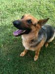 FOUND HUNTSVILLE, AL: Female German Shepherd found in Huntsville, AL after the 4/27 tornadoes and taken to Huntsville Animal Services. Contact Johnnie at: 256-714-4825