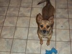 REUNITED! EAST FRANKLIN County, AL area: Found: Intact male Chihuahua/feist mix. Guess to be 2-3 years old by vet. Was wearing no collar or tags. Has been checked by my vet and is healthy and now dewormed.