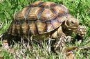 REUNITED! HUNTSVILLE/HARVEST: Please help find a missing turtle, 14yrs old weighs about 45lbs went missing from Monrovia Point Suvdivision. This is a family pet and the owner is very upset. There is a reward if found please call 256-683-3062
