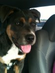 "REUNITED! Alberta City: Female doggie. contact eriknpaula@gmail.com UPDATE: Dog's owner was found, but he didn't want it back as it didn't make a good ""yard dog"" was apparently going to look for a German Shepherd instead…so this girl needs a good home since her ""owner"" didn't want her."