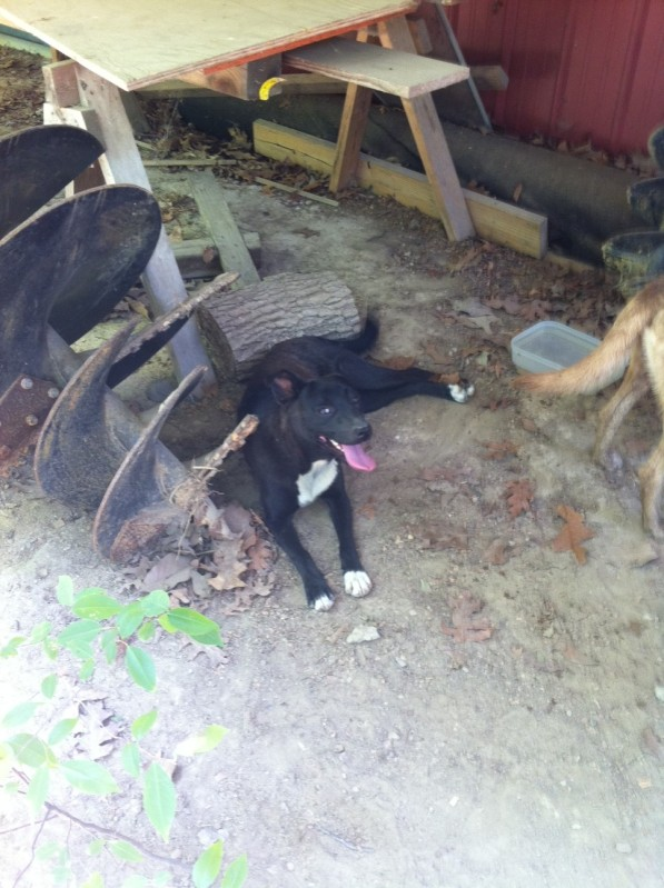 CULLMAN, AL: Dog found on Monday June 6 on 11th Street near the waterfall in Cullman, AL. Pup is a little on the shy side. Contact e.claire.vinson@alumni.duke.edu OR (256) 962-0659