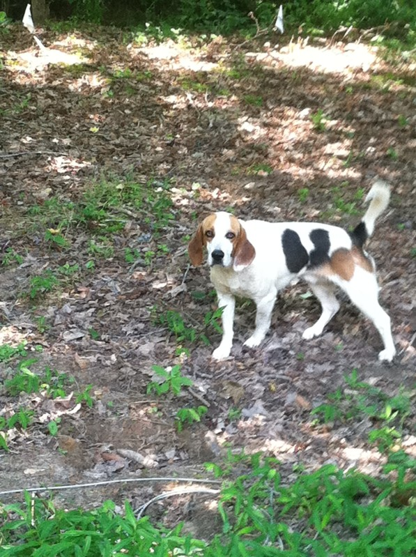 HUNTSVILLE, AL area: Beagle found Saturday May 28, wandering Highway 431 South between Monte Sano and Dug Hill Rds. in Huntsville AL. Male, approximately 5 years old, no collar. Contact Jennifer at (256) 533-5459 or Linderman Animal Clinic (256) 534-7387